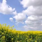 Oilseed_Rape_basking_in_spring_sunshine_west_of_St_Athan_-_geograph.org.uk_-_1297939
